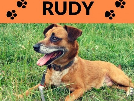 Rudy-wesoły  pogodny szczepiony towarzyski psiak 7lat 10kg