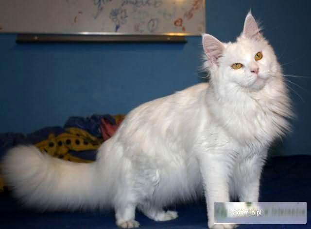 Biała Kotka Maine Coon Hodowla Vipers Pl Maine Coon Koty
