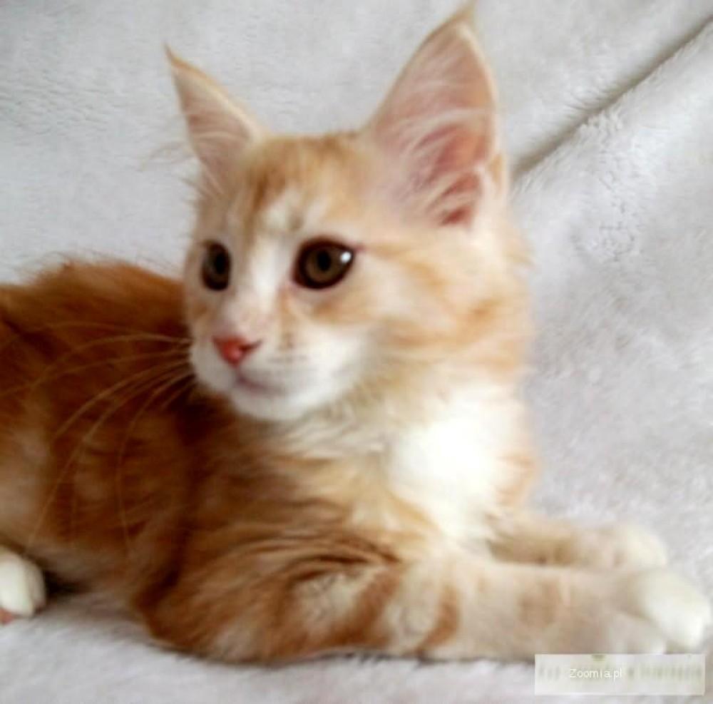 Ruda srebrzysta koteczka