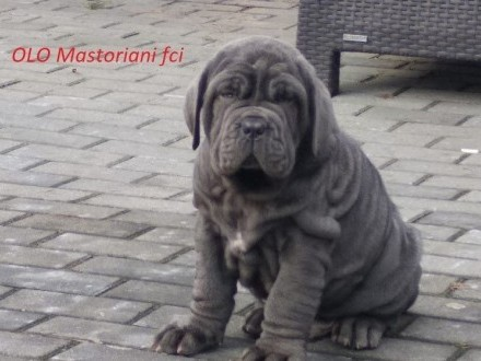 mastif neapolitański