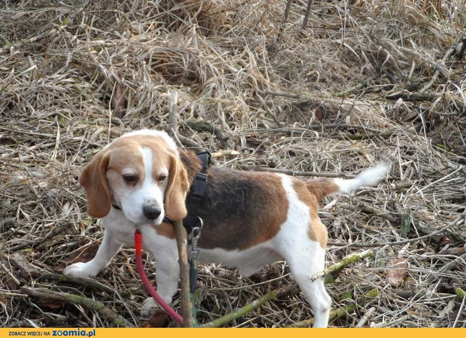 Kto pokocha sympatycznego beagle FLUFFY?