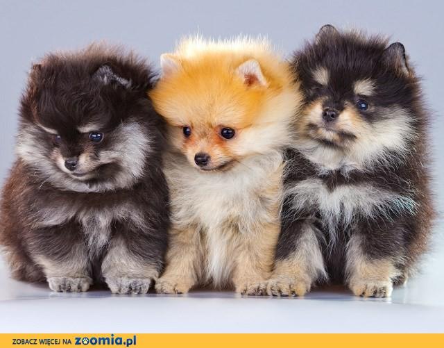Boże Narodzenie Prezent Pomeranian szczenięta zarejestrowane przez AKC