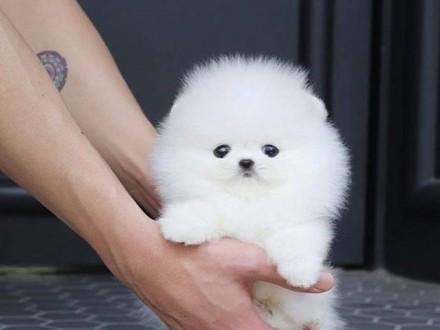SZCZENIĘTA - Szpic miniaturowy / Pomeranian
