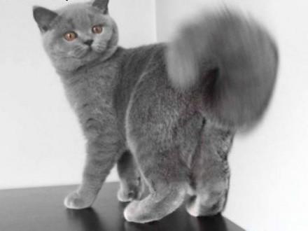 Wyjatkowa kotka brytyjska szuka kochajacego domu   lubelskie Lublin