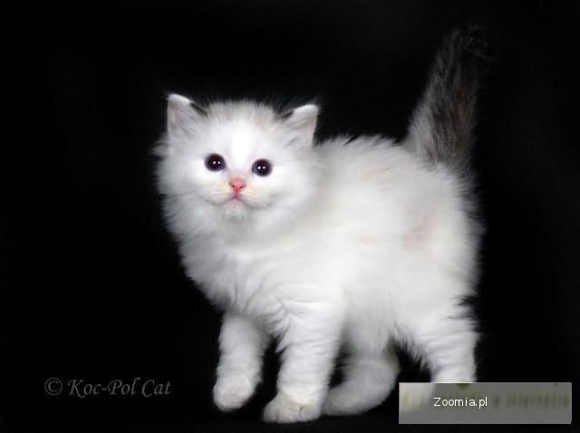 RAGDOLL - cudowne kociaki z hodowli KOC-POL CAT