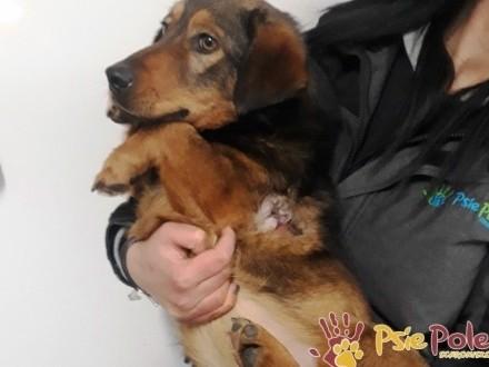 WALERY-fajniutki  wesoły  pogodny psiak  ma coś z jamnika  adopcja