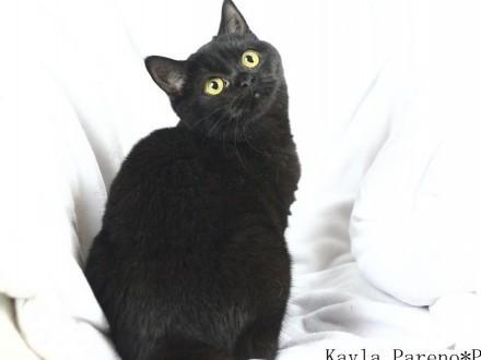 Kayla - przepiękna czarna koteczka brytyjska z rodowodem WCF