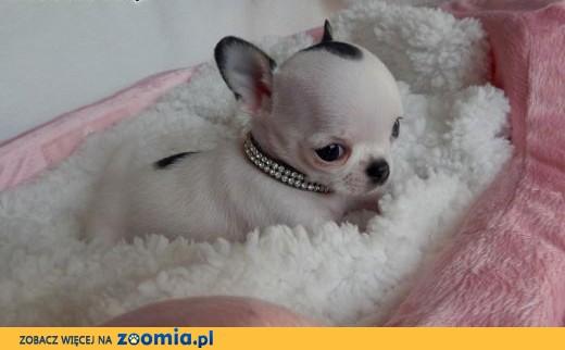 Chihuahua, krótkowłosy, piesek, wyjątkowy, super mini,  dolnośląskie Wrocław