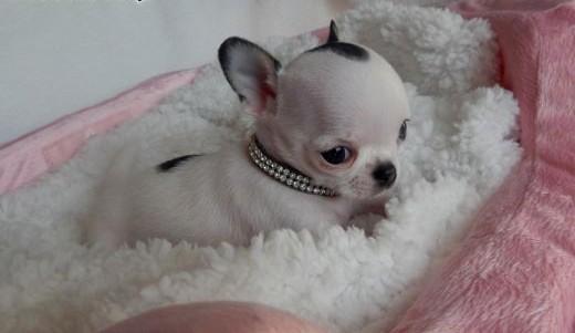 Chihuahua  krótkowłosy  piesek  wyjątkowy  super mini   dolnośląskie Wrocław