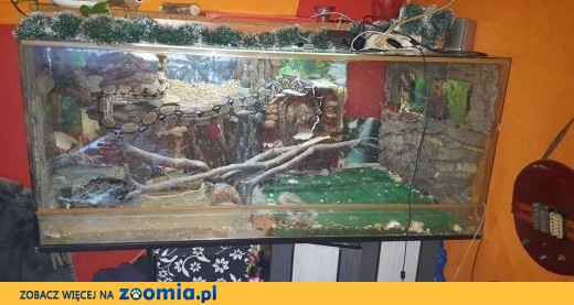 sprzedam dwa węże boa wraz z terrarium,  śląskie Czeladź