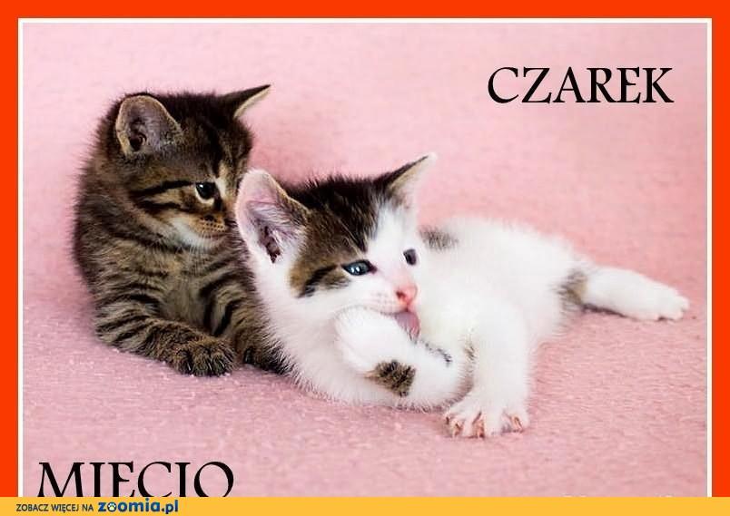 Kocięta,kocurki,małe,zdrowe,kuwetkowe z domu tymczasowego.ADOPCJA