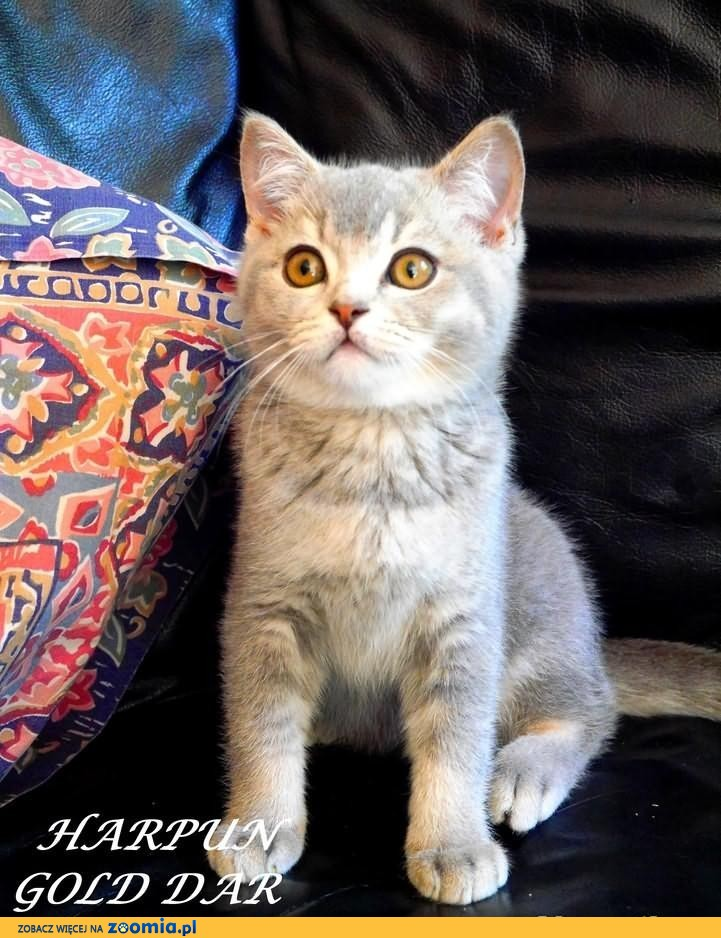 Kociaki Brytyjskie z Hodowli Gold Dar :) JUŻ DO ODBIORU!