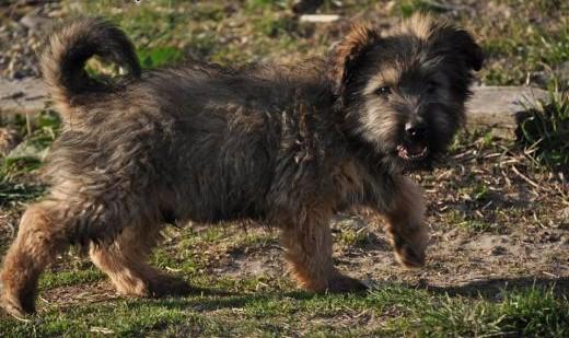 3 5 mies szczeniaki do adopcji   śląskie Katowice