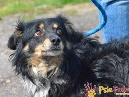 WIENEK-niewielki  piękny kudłaty psiak po przejściach szuka dobrego domu  adopcj