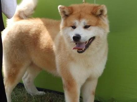 witam mam do sprzedania szczeniaczki rasy Akita japonska tel 663470286