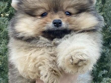 Szpic/Pomeranian FCI