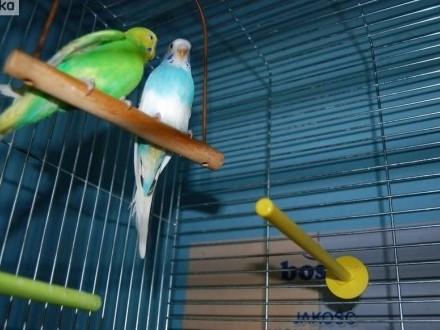 Papugi faliste   nimfy   rozelle aleksandretty  kanarki  ryżowce