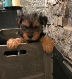 Czystej rasy Yorkshire Terrier szczenięta do adopcji   lubelskie Lublin