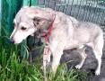 Apis pies który kocha wszystkich,szuka domu ,  śląskie Chorzów