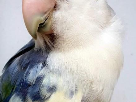 Nierozłączka czerwonoczelna nierozłączki czerwonoczelne młode do oswojenia jak i dojżałe pary papuga papugi