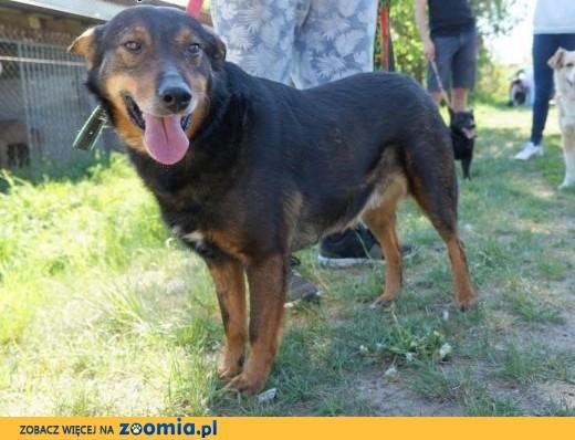 Aslan - niezwykły jak jego imię, mega proludzki psiak,  mazowieckie Piaseczno
