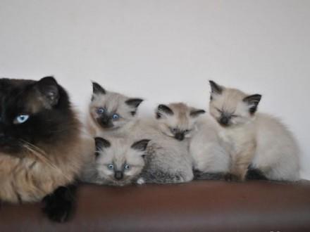 Najpiękniejsze Koty Syberyjskie Neva Masqerade z Rodowodem FPL