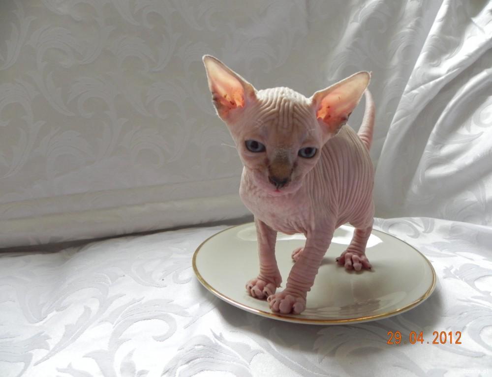 Świeże Kot Sfinks - ogłoszenia z hodowli. Koty Sfinks / Zoomia.pl pl 2 YV18