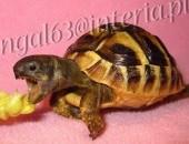 Żółw grecki, żółwik, żółwie, żółwiki greckie lądowe Testudo Hermani