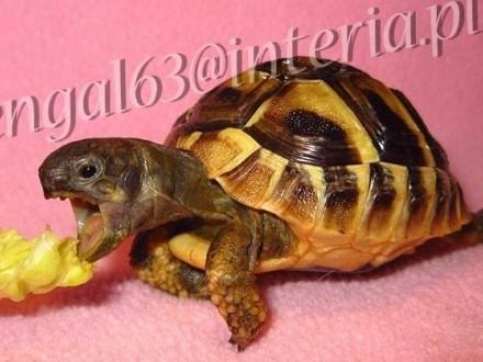 Żółw grecki  żółwik  żółwie  żółwiki greckie lądowe Testudo Hermani