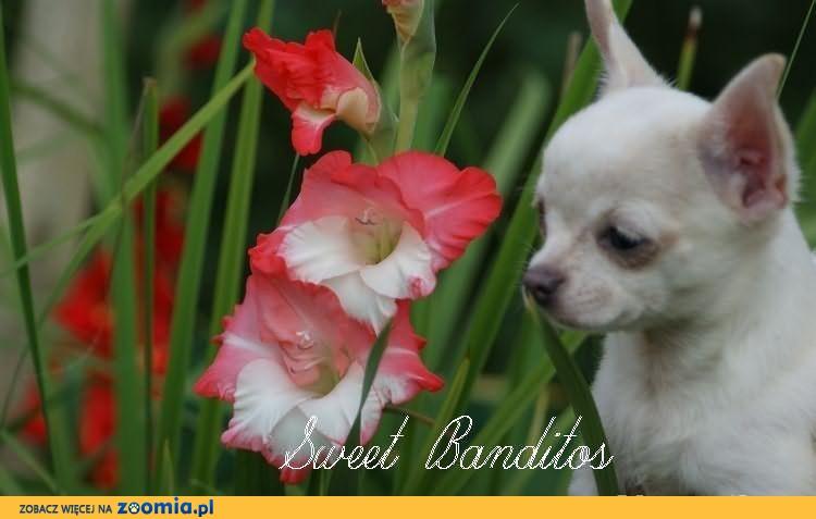 Chihuahua-rodowodowe szczenięta FCI