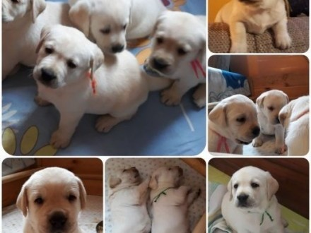 Labrador biszkoptowe dziewczynki już wkrótce do odboru   Labrador retriever cała Polska