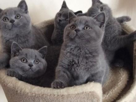 Urocze kocięta brytyjskie krótkowłose
