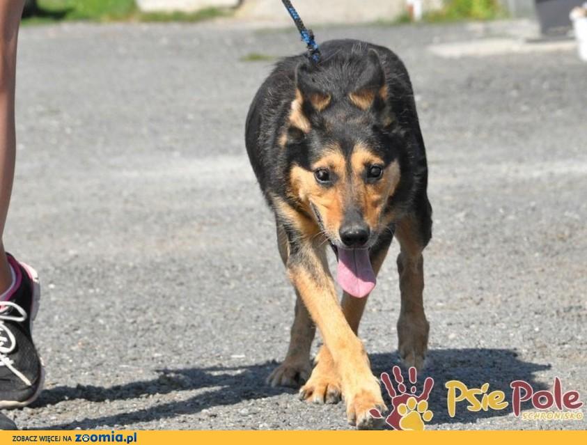 Dostojny ADMIRAŁ-wspaniały, piękny psiak w typie owczarka-szukamy domu