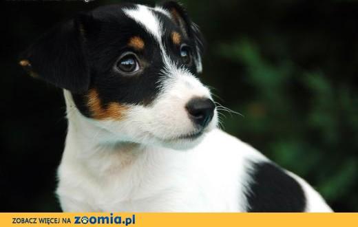 Jack Russell Terrier - suczka z rodowodem FCI,  małopolskie Kraków