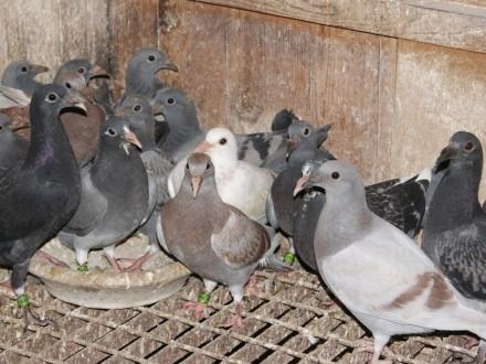 Gołębie pocztowe młode