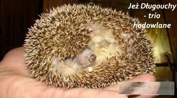 JEŻ DŁUGOUCHY Hemiechinus auritus - Sklep Zoologiczny ZooWitek