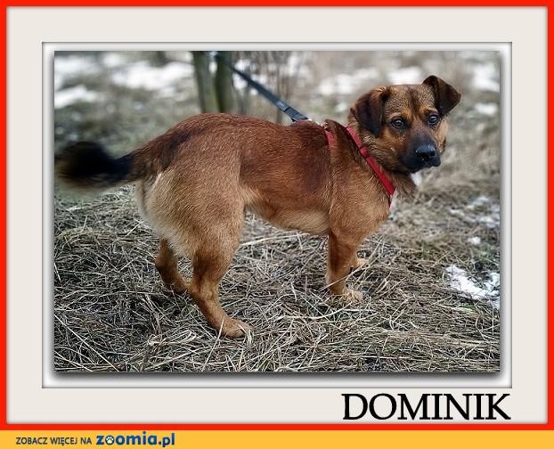 Mały 10 kg,młody 1,5 roku,łagodny,towarzyski psiak DOMINIK_Adopcja_