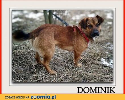 Mały 10 kg młody 1 5 roku łagodny towarzyski psiak DOMINIK_Adopcja_