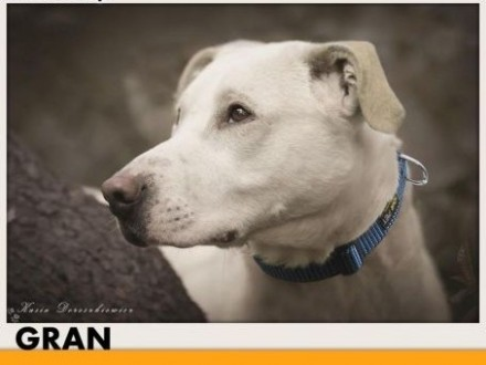 GRAN pies dla aktywnych mądry chętny do nauki aportującyADOPCJA   pomorskie Gdańsk
