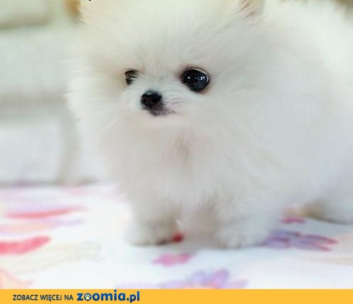 ZA DARMO, miniaturowe Pomeranian szczenieta,  Pozostałe rasy cała Polska