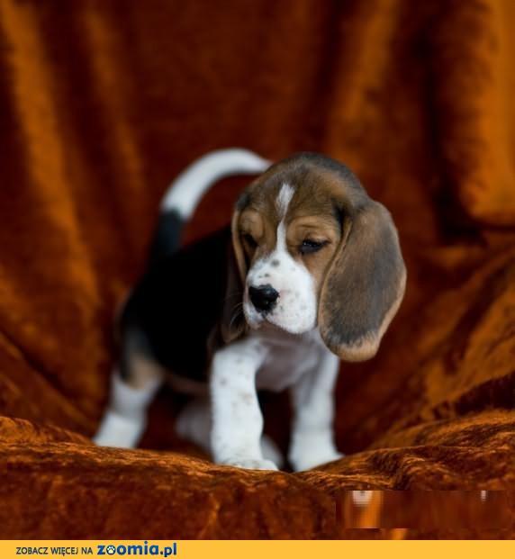 Beagle-szczeniaki z rodowodami FCI