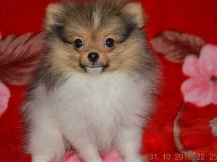 Pomeranian 100 %   szpic miniaturowy Gdansk