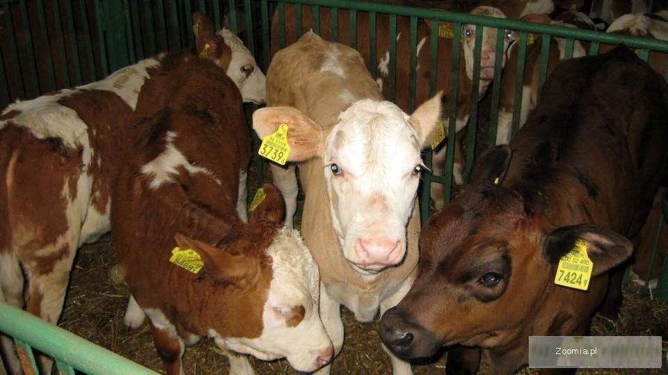 byczki mięsne nysa