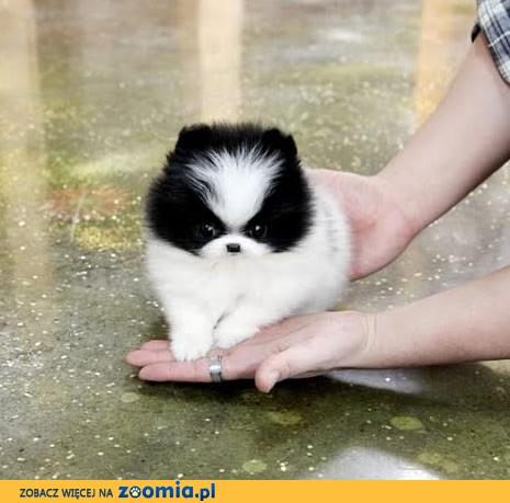 Boże Narodzenie Prezent Śliczne szczenięta Pomeranian
