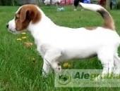 Jack Russell Terrier - suczka Hodowla FCI