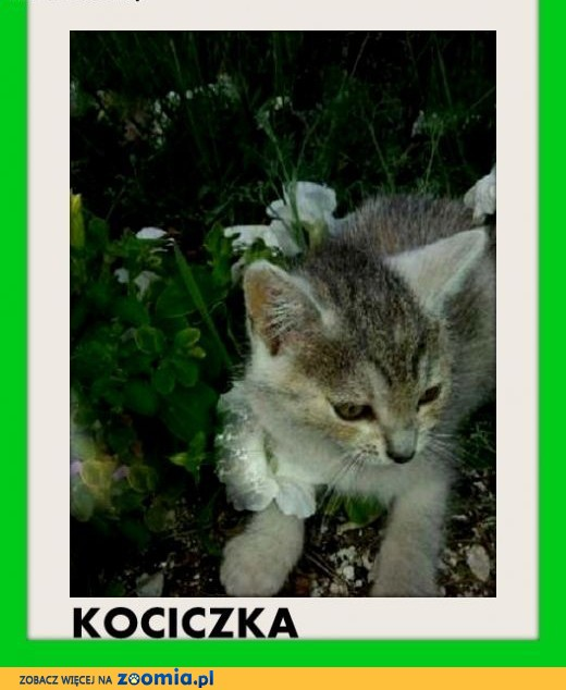 Srebrna, 2 mies. kociczka GAMA do adopcji,  dolnośląskie Wrocław
