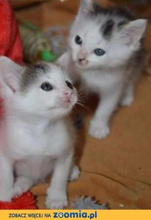 2 malutkie kociaki do adopcji ,  mazowieckie Warszawa