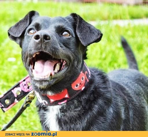 Bleki- Malutki, młody i wychowany pies do mieszkania w bloku