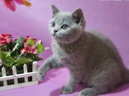 Śliczne niebieskie kocięta brytyjskie rodowód PZF / WCF