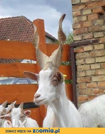 kozy Girgentana import z WŁOCH